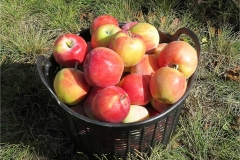 Jonagold apples 0741