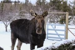 Moose 25