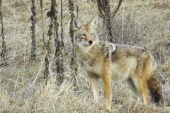 Coyote 004
