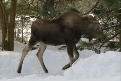 Moose Yearling 1259
