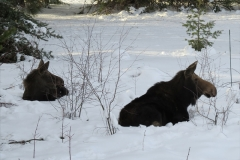 Moose-Cow and Yearling 1271