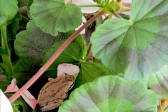 Tree Frog on Geranium 030