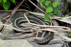 Snake - Garter 2087