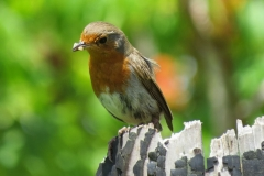 British Robin IMG_2612