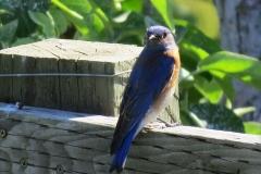 Bluebird male IMG_2198