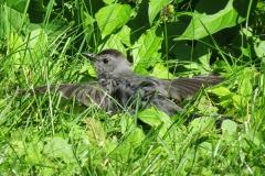 Catbird on lawn - 2974