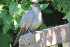 Catbird - 2976