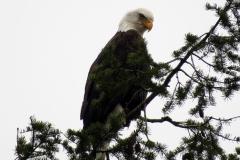 Eagles - Bald 3649