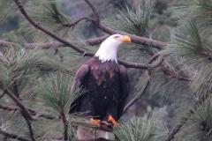 Eagles - Bald _ 3682