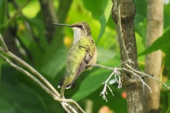 Hummingbird - Calliope 3326