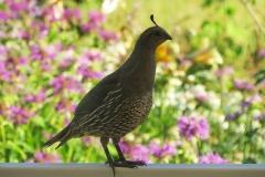 Quail - California - Female 3122