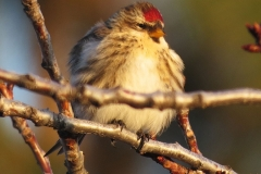 Redpoll perched 3612