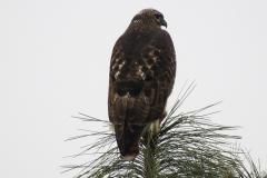 Hawks - Redtail 3689