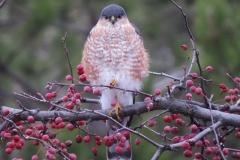 Hawks - Sharp-shinned female 3704