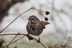 Sparrow - Song Sparrow 3580