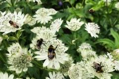 Bees on Astrantia - Masterwort