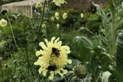 Bees on Scabiosa -Pincushion flower