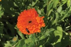 Beetle - Blister 1