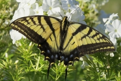 Butterfly - Tiger Swallowtail on white phlox - 3485