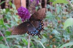 Butterfly Eastern Swallowtail 0216