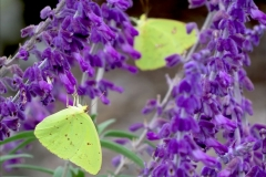 Butterfly Clouded Sulphur 0338