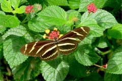 Butterfly Zebra Heliconium 0440