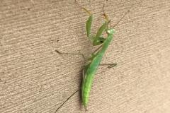 Praying Mantis on deck