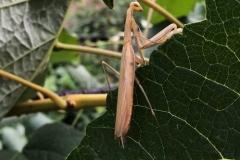 Praying Mantis on grape leaf