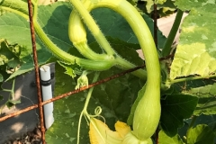 Zucchini - Trombetta di Albenga close-up