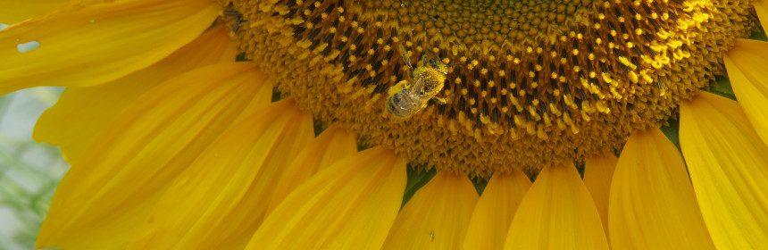 sunflower, Cabin Fever Gardening Symposium