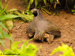 bird photo quail