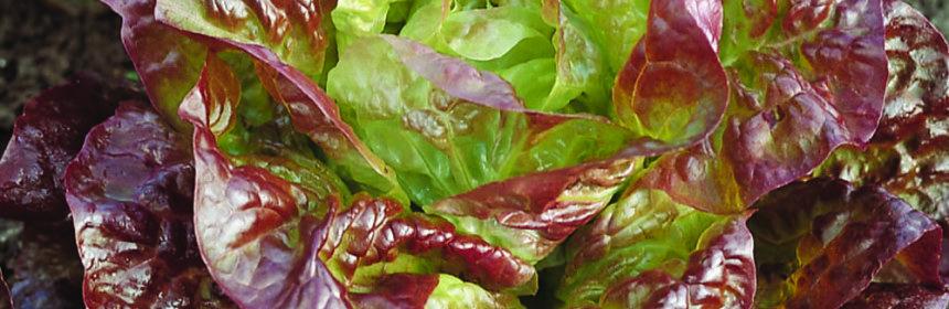 lettuce, organic gardener's handbook