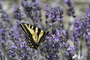 swallowtail butterfly, pollinator