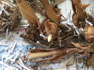canna quail bluebird video 002