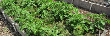 potato, vegetable garden tour