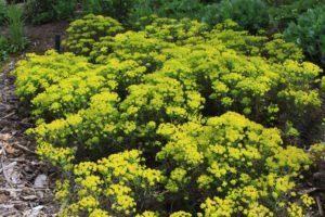 euphorbia cyparissias cypress spurge invasive plants