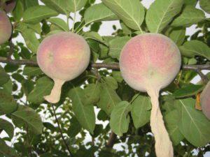 apple footies, Growing apples organically