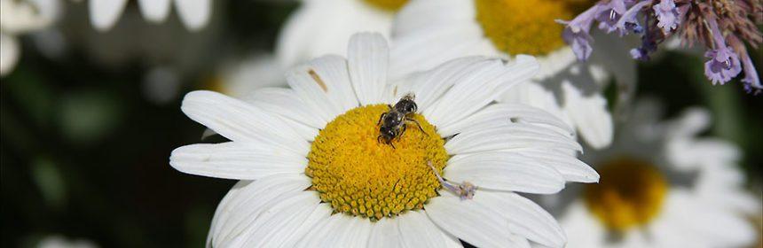 bee on daisy, pollinator, garden fair