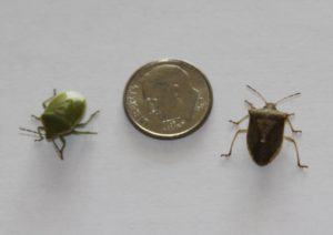 organic insect control, stink bugs
