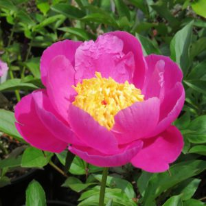 peony, Friends of Manito plant sale