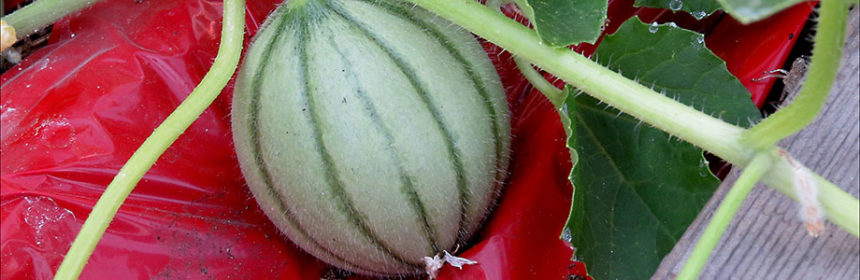 vegetable garden tour, cantaloupe, Insect ID