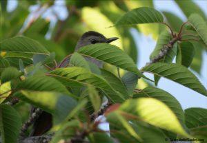 catbird, attracting birds