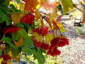 American cranberry bush, Viburnums