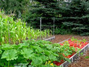 corn and squash plants, sunlight
