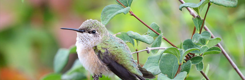 attract hummingbirds, bird photography tips, Calliope or Rufous