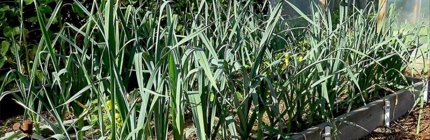 leeks, vegetable garden tour 3