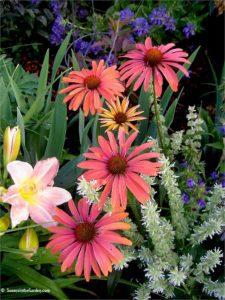 coneflower, Echinacea, heat-tolerant plants