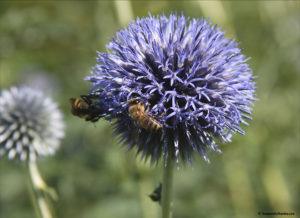 Globe Thistle, Echinops, heat-tolerant plants, attracting beneficial insects