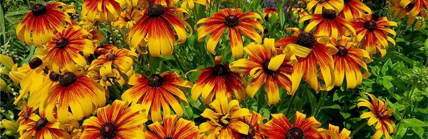 Rudbeckia, heat-tolerant plants