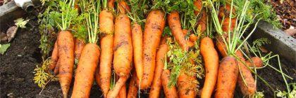 carrots, vegetable garden tour